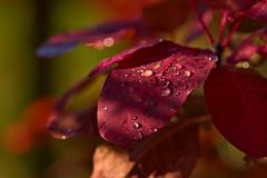 Autumn colors (pstenzel71) Tags: blätter pflanzen samyang135mm20 herbst autumn leaves darktable samsungnx bokeh