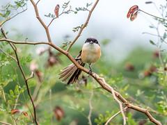 20171123-EM124249 (shutterblades) Tags: birds longtailedshrike olympusem1mkii olympusmzuiko300mmf4pro14tc seletaraerospacehub seletarwestlink