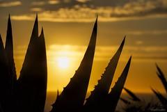 Daggers.... (Joe Hengel) Tags: daggers lagunabeach california ca clouds cloudsorangecounty evening eveninglight eveningskies sunset sun sunlight sunglare aloe silhouette silhouettes beach orangecounty oc outdoor ocean pacificocean socal southerncalifornia sea seaside seascape seashore goldenstate golden goldenhour glow montage