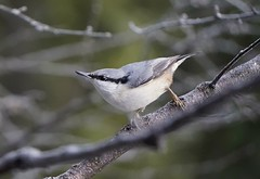 Nuthatch-surfing on branches (janrs7) Tags: bird wildbird eurasiannuthatch nuthatch surfing branches nature forest norway norge spettmeis sonya6000 sonyemount55210mm