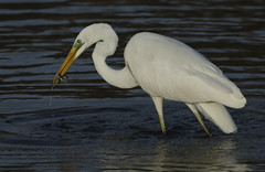 Great White Egret - A treasure I may never have discovered (Ann and Chris) Tags: rutlandwater feeding fishing avian bird beak wildlife wild beautiful nature