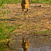 Young bushbuck watching crocodile swimming away