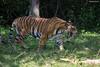 On the Prowl (Deepu Cyriac) Tags: karnataka kabini nature nilgiribiosphere nagarhole nagarholenp wildlife westernghats bigcat travel tiger royalbengaltiger bengaltiger tigress indianforest