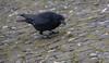 die gehört mir (wpt1967) Tags: canon100300mm castroprauxel eos6d erinpark gefieder rabenvogel ruhrgebiet ruhrpott vogel winter winterfutter bird wpt1967