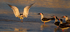 Skimmer (Eric Gofreed) Tags: california crownpoint sandiego skimmer