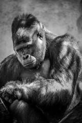 Silver Back Gorilla (Justin Mckinney Images) Tags: one white black animal portrait mammal primate ape gorilla back silver