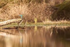 Martin pecheur - le plongeon (Antho.G.) Tags: alcédinidé biscarrosse lagunedebatlongue martinpêcheurdeurope oiseau