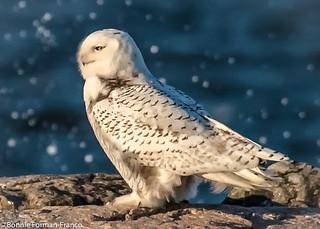 20171129_SNOWY OWL _BFF_5471-