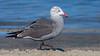 Herrmann's Gull (Eric Gofreed) Tags: california gull herrmannsgull sandiego