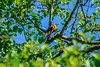 Yellow-Headed Blackbird (red-wing) Tags: bird black yellow nature outdoors perch tree yellowheadedblackbird blackbird canada burnaby burnabylake britishcolumbia xanthocephalusxanthocephalus animal leaves leaf sky forest