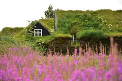 Icelandic Turf House and Field of Purple Flowers 1 (Amaury Laporte) Tags: europe iceland skogar folkmuseum traditional history