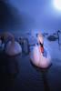 Swan in a cold river (Peter Heitzinger) Tags: austria strobelight water wasser lambach schwäne blitzlicht traun