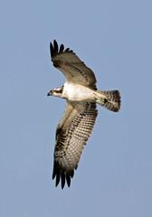 Osprey (NickWakeling) Tags: osprey birds norfolk nature northnorfolk holkhampark holkham canonef400mmf56lusm canoneos7dmarkii wildlife