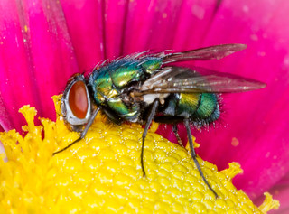 The Green Fly.