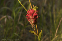 """Indian Paintbrush • <a style=""""font-size:0.8em;"""" href=""""http://www.flickr.com/photos/63501323@N07/38255893286/"""" target=""""_blank"""">View on Flickr</a>"""