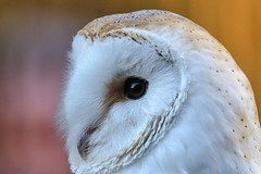 owl portrait (Paul Wrights Reserved) Tags: owl portrait feather detail closeup beak bird birdofprey birdphotography birding