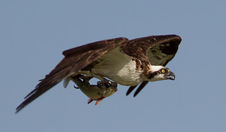 IMG_3824 Osprey with fish