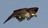 IMG_3824 Osprey with fish (cmsheehyjr) Tags: cmsheehy colemansheehy nature wildlife bird osprey hawk fishhawk rappahannock virginia raptor pandionhaliaetus