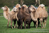 _MG_0115.jpg (Ashley Middleton Photography) Tags: warminster england unitedkingdom mammal camel wiltshire longleatsafaripark europe bactriancamel animal