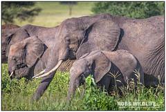 African Elephants 021816-4306-W.jpg (RobsWildlife.com © TheVestGuy.com) Tags: fineart tinyelephants babyelephant ivoryforelephants wildlifetours robswildlife elefantes 2016 elephantears ©robswildlifecom wildlifeprints africanelephants elephants savetheelephants africaivory loveelephants elephantobsession africansafari iphone animalprints elephantobsessed 96elephants tanzania outdoors nature animalart 021816 african robswildlifecom africa elephant endwildlifetrafficking robdaugherty africanelephant nationalpark stoppoaching wild africantours professional epicwildlifeadventures wildlifephotographer photography wildanimals wildlifeart thevestguycom canon 8016989080 mammal