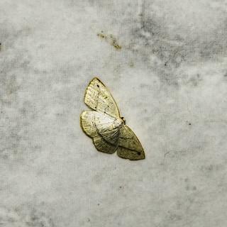 cf. Microxydia sp. - Microxydia Moth (Warren, 1895)