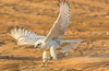 Falcon training in the desert near Dubai (Robert Haandrikman) Tags: rasalkhaimah unitedarabemirates ae desert falcon training people locals camels camel birds travel holiday beautiful wings hunting flying arabic coffee dubai abu dhabi hiking offroad wanderlust animal wildlife