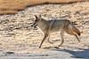Coyote near Riverside Geyser (YellowstoneNPS) Tags: uppergeyserbasin ynp yellowstone yellowstonenationalpark coyote fall wildlife