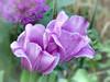 (maj-lis photo) Tags: tulip purple nature