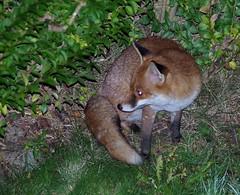 Urban red fox uk garden  (15) (Simon Dell Photography) Tags: urban red fox garden s12 nature wildlife sheffield uk england old english animal wild simon dell photography pentax k50 samples feeding eating autumn winter visitor