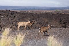 K3_P2856-sRGB (mountain_akita) Tags: hawaii waikoloa feral goat lava waikoloavillage unitedstates us