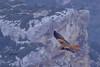 Milvus milvus (Tonpiga) Tags: tonpiga uccelliinlibertà faunaselvatica rapace predatore nibbioreale milvusmilvus