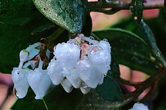 J20171114-0002—Arctostaphylos manzanita—RPBG—DxO (John Rusk) Tags: dxofujjivelvia50preset dxofilmpack ebparksok taxonomy:kingdom=plantae plantae taxonomy:subkingdom=tracheophyta tracheophyta taxonomy:phylum=magnoliophyta magnoliophyta taxonomy:class=magnoliopsida magnoliopsida taxonomy:order=ericales ericales taxonomy:family=ericaceae ericaceae taxonomy:subfamily=arbutoideae arbutoideae taxonomy:genus=arctostaphylos arctostaphylos taxonomy:species=manzanita taxonomy:binomial=arctostaphylosmanzanita arctostaphylosmanzanita commonmanzanita taxonomy:common=commonmanzanita