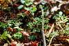 林床の小さな植物