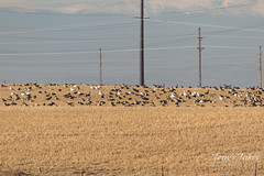 Geese hanging out in a field