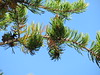 Seney National Wildlife Refuge (JJP in CRW) Tags: pines whitefishpoint michigan upperpeninsula