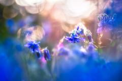 If you want me (Ans van de Sluis) Tags: ansvandesluis bokeh bokehlicious botanic botanical dream dreamy flora floral flower macro nature soft spring sun sunlight sunset columbine