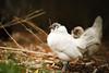 chickies-0667 (vashnic) Tags: chicken belgiandanvers antwerp bantam backyardchicken molting