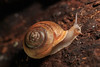Snail's Pace in the Adirondacks (phonnick) Tags: roaringbrook giantmountain washbowl trail hike hiking adirondacks highpeaks land snail shell slug macro wood log forest canon6d canon 6d nature wildlife