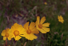 Poppies (jvde) Tags: 3570mmf3345nikkor burnaby coolscan film fujicolor gimp nikonfe sfu