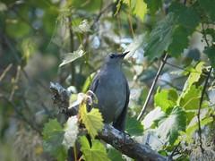 Gray Catbird. Dumetella carolinensis
