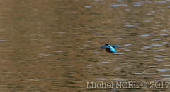 Martin-pêcheur d'Europe Alcedo atthis - Common Kingfisher : Michel NOËL © 2017-4934.jpg (Michel NOËL 1,2 M + views .Thanks to visits) Tags: martinpêcheurdeurope alcedoatthis commonkingfisher
