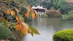 Shinjuku Gyoen (Lukim) Tags: autumn leafs leaves leaf pond macro focus temple shinjuku tokyo japan