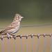Vesper Sparrow (Noah Frade) Tags:
