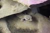 Leopardgecko (pashieno) Tags: budapestzoo leopardgecko 03echsen lidgeckos reptilien ungarn zoo