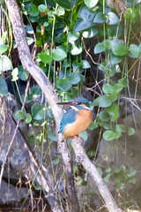 Kingfisher (zbackkcabz) Tags: kingfisher beautiful bird birds wildbird awesome amazing animal scene cool country cute nature naturewatcher outdoor