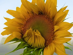 Sunflower in the Mist (rachael242) Tags: sunflower mist flower petals stem nature delicate abstract yellow green pattern ist fog weather round shapes 7dwf