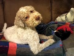 King Lui (Günter Hickstein) Tags: lagotto hund trüffelhund lagottoromagnolo wasserhund waterdog italienischerwasserhund dog pet ludwig uelzen günterhickstein leica huawei huaweimate9