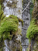 mossy tree (MissLydia) Tags: birding snoqualmiefalls wastate nature birds 2017 november fall snoqualmie snohomish