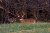 Whitetail buck and doe (snooker2009) Tags: deer buck rut doe fall huge big rack pennsylvania nature wildlife