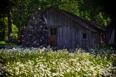 Barn with Daisies (North Cascades National Park Service Complex) (thor_mark ) Tags: azimuth192 canvas capturenx2edited chimney colorefexpro daisies day4 dxoperspective fieldofdaisies fieldofwildflowers flickridea grassyarea grassyfield grassymeadow ideasigotfromothers lakechelannationalrecreationarea landscape lookingsouth nature nikond800e northcascadesnationalparkservicecomplex oldhome oldhouse outside patchofwildflowers portfolio project365 trees triptonorthcascadesandwashington woodenhouse lakechelannationalrecreation washington unitedstates